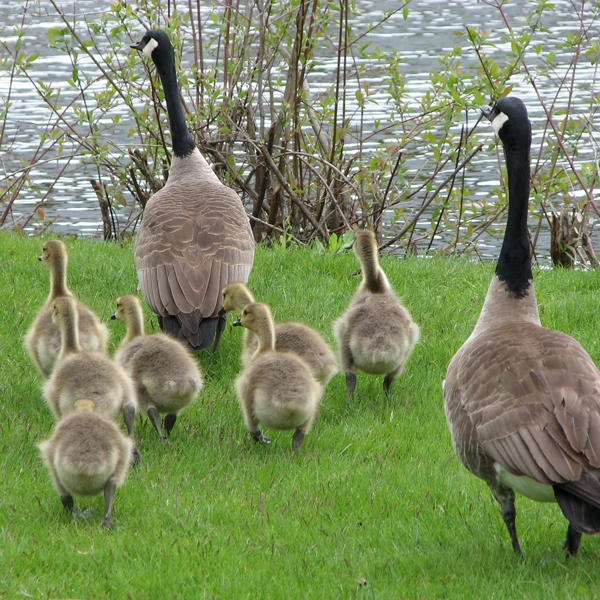 Photos of a geese family waddling toward a lake © FreeImages/Christine Scholes and Fred Kuipers